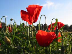 Tarifs-coquelicots-duo-190px